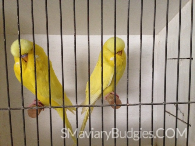 S&M Aviary English Budgie Breeders | S&M Aviary English Budgie